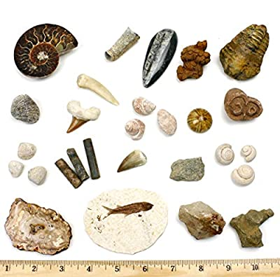 Dancing Bear Fossil Collection Set, 20 Real Premium Specimens: Trilobite, Ammonite, Fish Fossil, Shark Tooth, Petrified Wood, Dinosaur Bone, Fossil Book, Time Scale, ID Cards, STEM Science Kit
