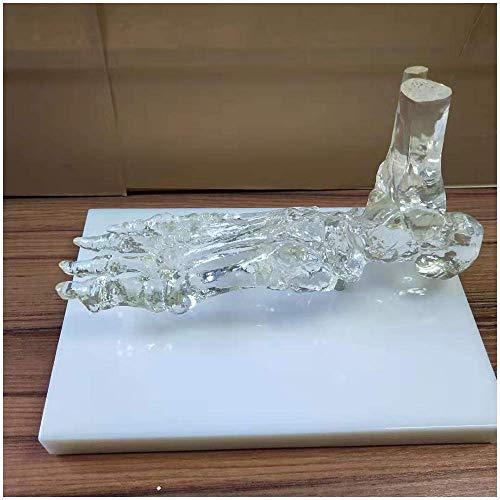 Modell der Fußskeletts - Life Size Menschliches Skelett Modell - Transparent Fuß und Knöchel-Skelett-Modell - medizinische anatomischer Menschlicher Fuß Skelett-Modell mit Basis,A