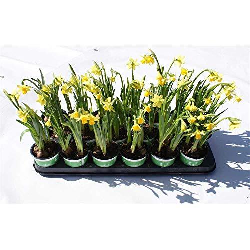 Narzisse 'Tete a Tete', gelbe kleinblumige Osterglocke, Narcissus cyclamineus - im Topf vorgetrieben, in Gärtnerqualität von Blumen Eber - 18 Töpfe a 9 cm
