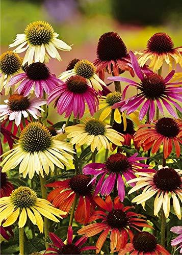 8x Echinacea \'Echinacea cheyenne spirit\' - Blumenzwiebeln aus Holland - 100{23649c10e4ef77a4b3361bbddb34dd20189187803cccae1b4b5b410e207fceff} Blühgarantie - Farbe: Mischung - Höhe 100-150 cm