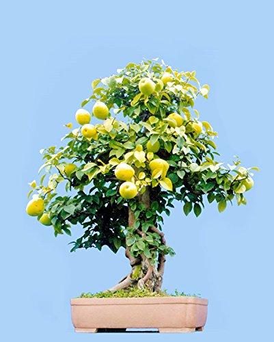 Livraison gratuite, 10 PC mini-pot de poire semences d'arbres, chinois plantes fruitières de haute qualité