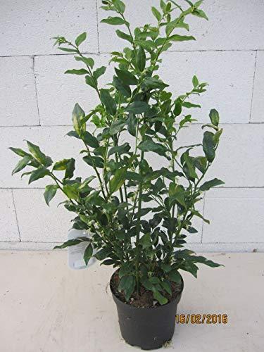Aufrechte Schleimbeere - Fleischbeere - Sarcococca confusa syn. ruscifolia