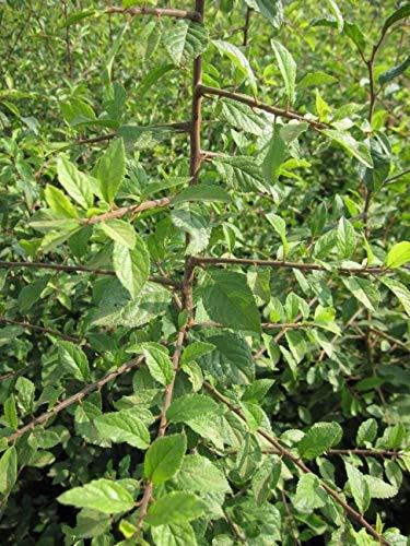 Prunus spinosa - Schlehdorn - Schlehe - Heckendorn