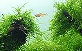 Tropica Taxiphyllum barbieri Java Moss 1-2-Grow Cultura de tejido In Vitro Live Planta de acuario Camarones Segura y Libre de Caracol