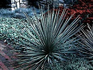 Amazon.es: yuca - Plantas, semillas y bulbos: Jardín