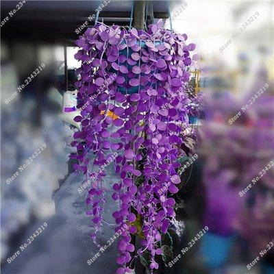 Plantes grimpantes des semences rares Parthenocissus tricuspidata semences jardin plantes ornementales Four Seasons Flower 60 Pcs / sac