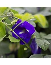 Guisante, mariposa azul, mariposa azul de guisante, Clitoria ternatea, 20 semillas por paquete