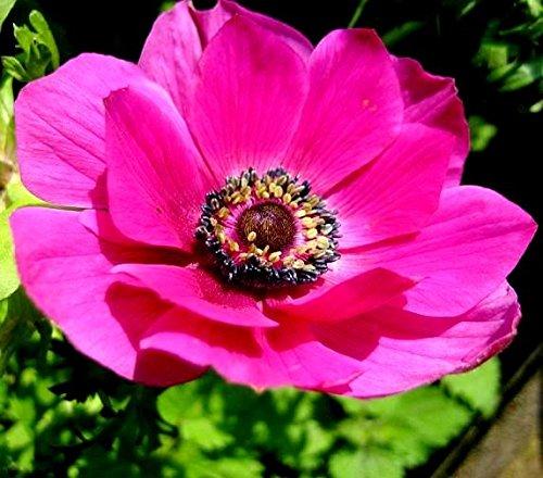 Anemone Sylphide - 20 Blumenzwiebeln