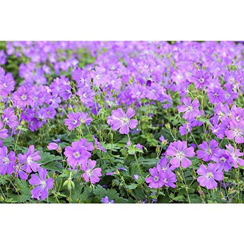 Geranium x gracile 'Sirak' - Garten-Storchschnabel 'Sirak' - 9cm Topf
