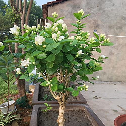 Semillas de jazmín hermoso como el jade sala de estar balcón decoración jardín de verano agrega brillo agradable-300 pcs