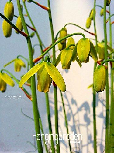 Vente chaude! 100 PCS / Sac Trachyandra revoluta Seeds Thin feuilles Livraison gratuite, leurs maisons, des plantes en pot, # GU9ELP