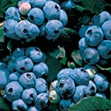 BLUEBERRY PLANT - Collins - Organic - ORDER NOW FOR FALL PLANTING!!