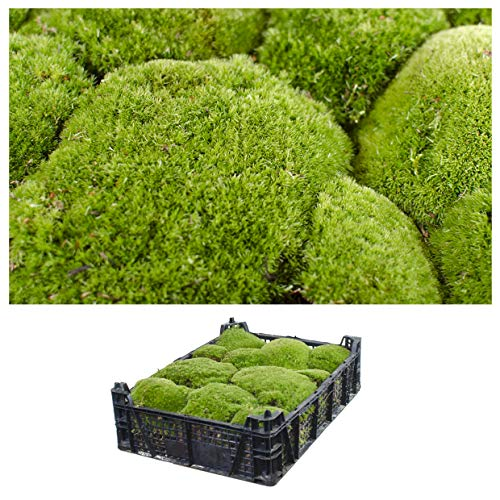 1 Kiste Echtes Moos - Bollenmoos- Natur Dekomoos zum basteln in verschiedenen Sorten - DIY - Islandmoos, Plattenmoos, Bollenmoos, Hügelmoos Sphagnum Moos