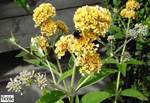 Buddleja weyeriana Sungold - Schmetterlingsstrauch - Schmetterlingsflieder