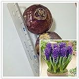 bombillas de alta calidad (tulipanes, gladiolos, shigarlic, bulbos de jacinto) no es una semilla de flor, hermosas plantas en macetas bulbo del jacinto 1PC