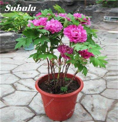 10 Pcs Pivoine graines, semences Potted extérieur, semences Bonsai Fleur, Variété complète, facile à cultiver, d'ornement-plantes pour jardin 6