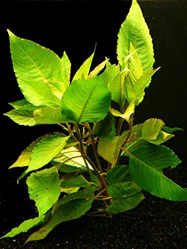 Zoomeister - 1 Bund KIRSCHBLATT (HYGROPHILA CORYMBOSA Cherry Leave)