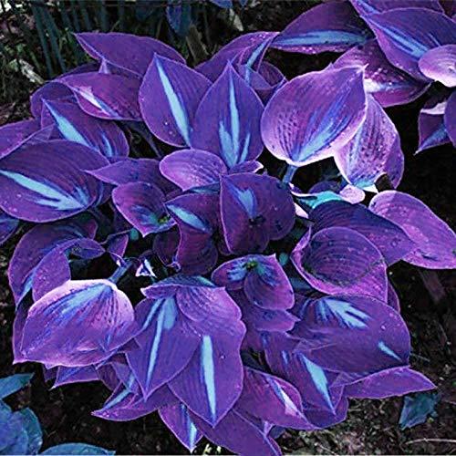 TOYHEART Premium Blumensamen, 1 Beutel Hosta Seeds Aesthetic Easy Grow 3 Farben Natürliche Blumensamen Für Den Garten Lila-Weiß
