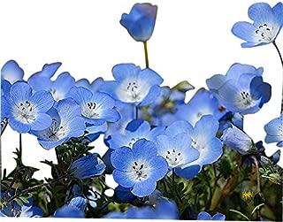 Best baby blue eyes seeds Reviews