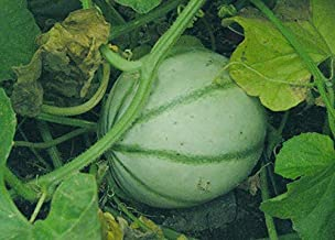 Seeds French Charentais Melon Cantaloupe Sweet Flatrate Combine Get 100 Seeds Fresh Seeds Grown Seeds #CZM01YN