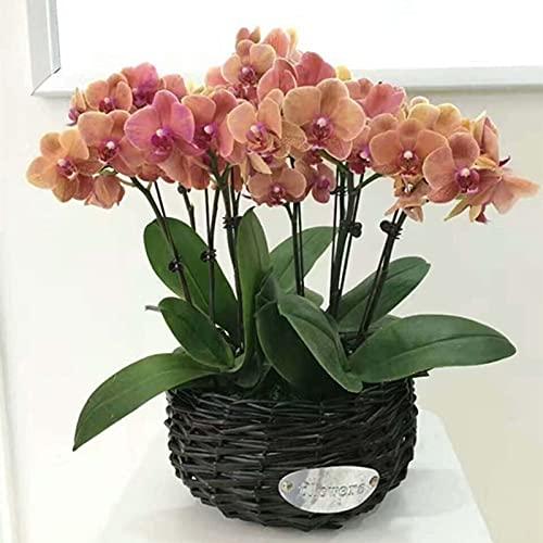 Semillas de flores 100pcs/Bolsa Phalaenopsis Semillas orquídeas flor bonsái plantas multicolor bloom interior jardín al aire libre semilleros para el hogar - marrón