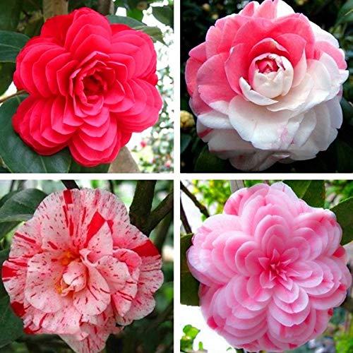 50 pcs/sac, les graines de camélia, Camellia japonica, les plantes en pot, les saisons de plantation, plantes à fleurs