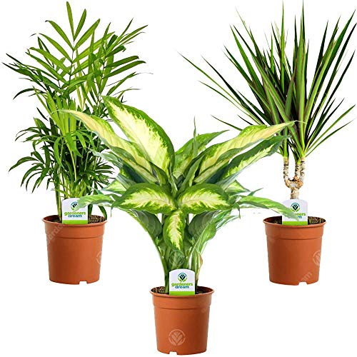 Indoor Plant Mix - 3 Plants - House/Office Live Potted Pot Plant Tree (Mix...