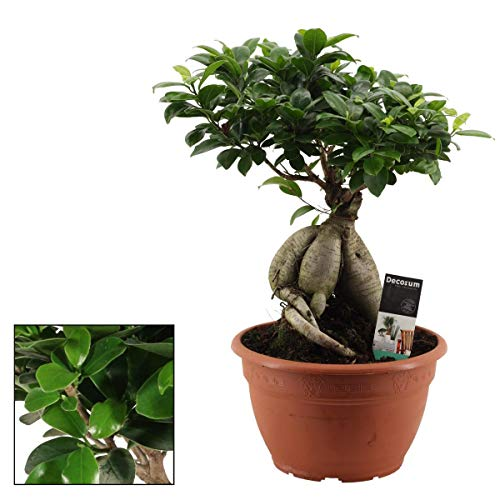 Bonsai Ficus microcarpa Ginseng 50 cm/dicke-schwere Knolle Chinesische Feige