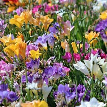 Freesia Mixed Flower Bulbs - Vibrant, Colorful, Fragrant Flower Perfect for Gardens - 30 Flower...