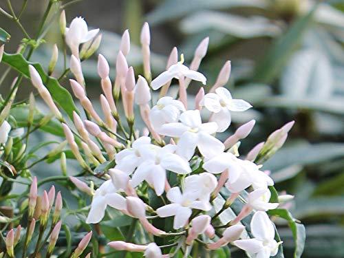 Jasminum polyanthum Duft-Jasmin Duft-Kletterpflanze