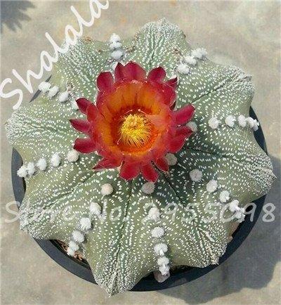 Nouvelle arrivee! 20 Graines frais Succulent Cactus boule Graines, variété de couleurs, Intérieur aérobie Potted haute Germination Graines de fleurs 3