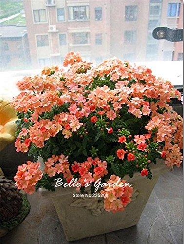 100pcs multi-couleurs Variété Verveine Graines Hardy Plantes Graines de fleurs exotiques Fleurs ornementales Bonsai Graines 06