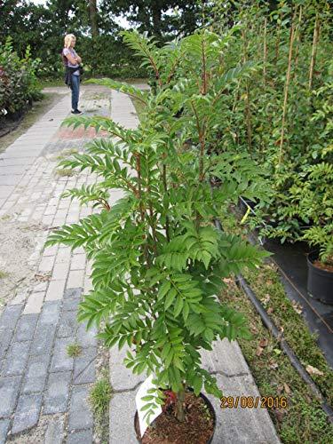 Sorbus aucuparia Autumn Spire (R) - Herbst-Eberesche Autumn Spire (R)