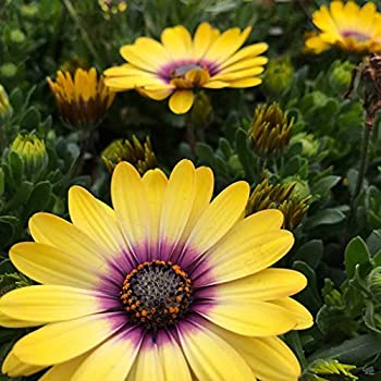 40+ Séẹds Yellow African Daisy / Annual Flọwer Séẹds