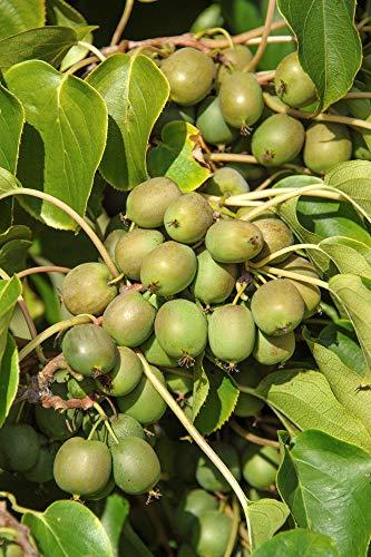 Kiwibeeren - Pflanzenpaar KIWIRI - männliche und weibliche Kiwibeerenpflanze - 2 Pflanzen