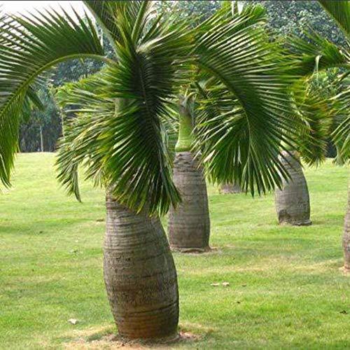 100 Piezas En Forma De Botella De Palmera Semillas Bonsai Jardín Planta Ornamental Tropical Semillas de palmera