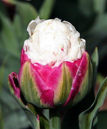Tulipa icecream