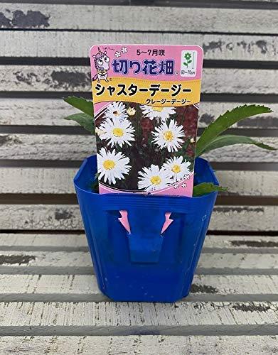 【花苗】 シャスターデージー クレージーデージー 9cmポット 1苗