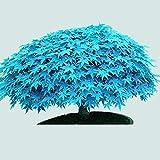TOYHEART 30Pcs Semi Di Fiori Premium, Semi Di Albero Di Acero Pianta Rara Piantine Di Piante Decorative Blu Decorative Per Prato Blu