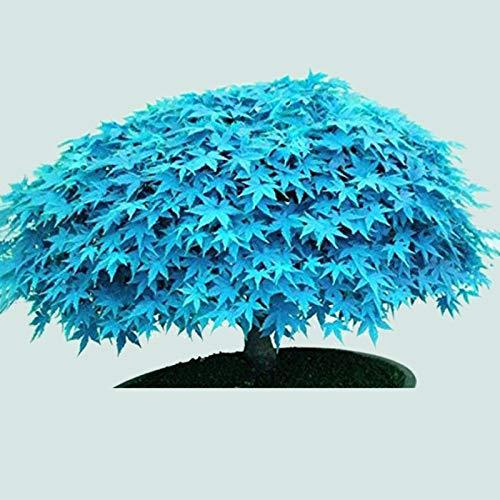 TOYHEART 30 Piezas De Semillas De Flores De Primera Calidad, Semillas De árboles De Arce, Plantas Raras, Plantas Decorativas Azules Decorativas, Plántulas Para Césped Azul