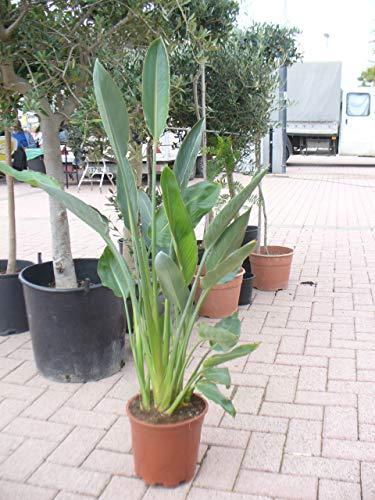 Paradijsvogel bloem, strelitzia plant, strelitzia reginae in pot 65-80 cm, strelizie plant