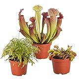 mix di 3 piante carnivore pianta carnivora e venere acchiappamosche |altezza 10-15 cm |vasi Ø 5,5 cm