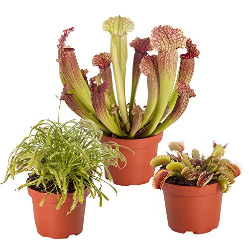 3er Mix Fleischfressende Pflanzen | Schlauchpflanze und Venusfliegenfalle | Höhe 10-15cm | Topf-Ø 5,5cm