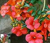Rote Trompetenblume - Campsis tagliabuana - Madame Galen - Kletterpflanze