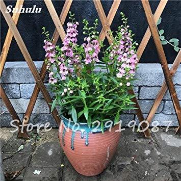 Nouvelle Bonsai usine 50 Pcs parsemées dans les graines Sky Star, gypsophile rares plantes Bonsai Fleurs, Starry Graines de fleurs, Décoration de jardin 13