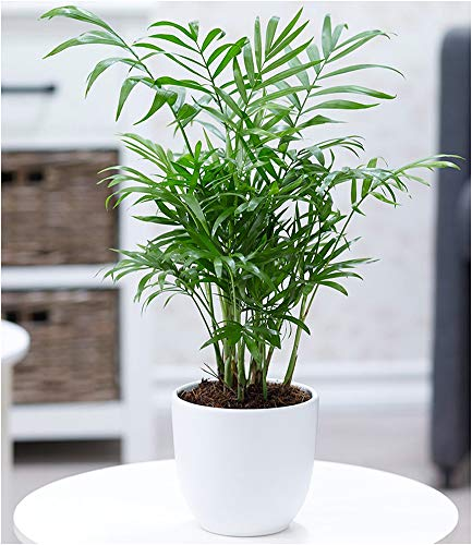 BALDUR Garten Chamaedorea Palme, 1 Pflanze Luftreinigende Zimmerpflanze Bergpalme Zimmerpalme