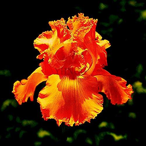 50pcs / sac graines Iris, fleur populaire de jardin de plantes vivaces, graines de fleurs rares coupe magnifique fleur pour orchidée plantation de jardin à la maison 14