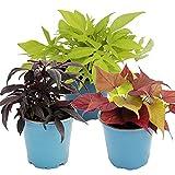 Süßkartoffel - Beet- und Balkonpflanze - Ipomoea batatas - 12cm - Set mit 3 Pflanzen - Farb-Mix