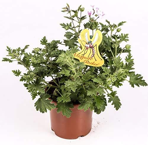 Citronella - PACK 2 unidades - Planta anti mosquitos - Maceta 15cm. - Pelargonium citrodorum/graveolens - planta aromática - planta viva - (envíos solo a península)