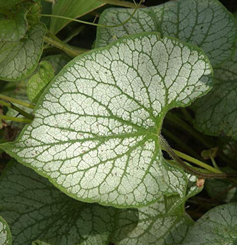 Kaukasus Vergißmeinnicht Jack Frost - Brunnera macrophylla